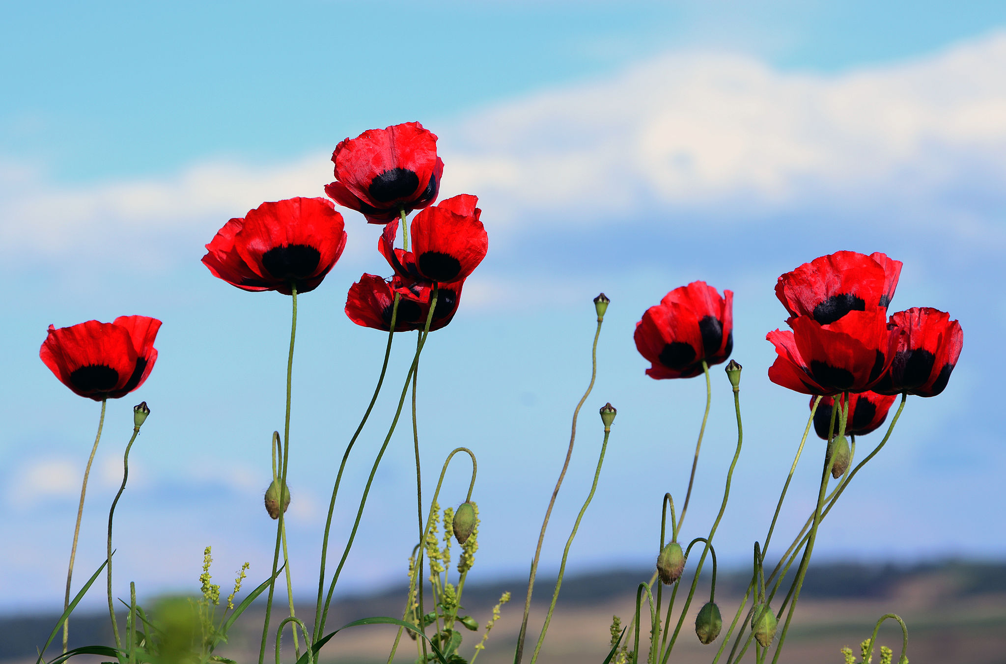 Tall Poppies (gifted)